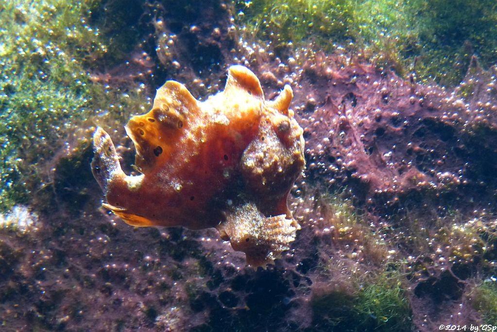 Anglerfisch (Antennarius spec.)