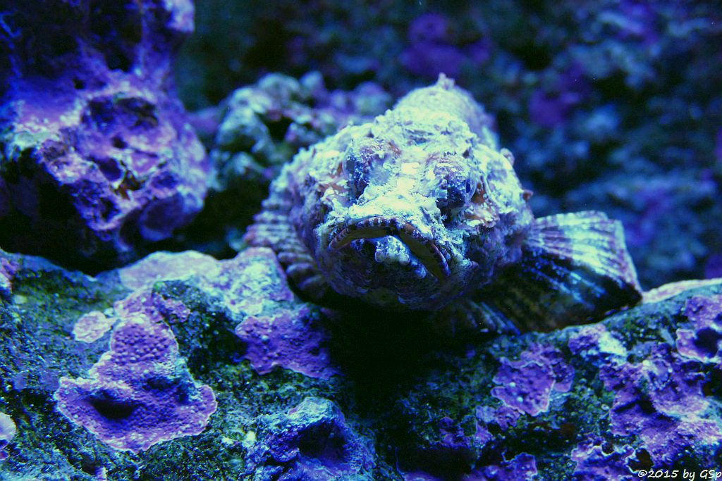 Buckel-Skorpionsfisch (Falscher Steinfisch)