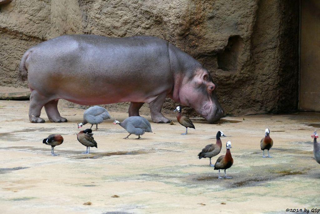 Flusspferd (Nildpferd), Helmperlhuhn, Gelbbrustpfeifgans (Gelbe Pfeifgans)