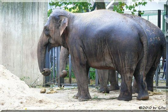 Asiatischer Elefant THONG Tai, WIN THIDA