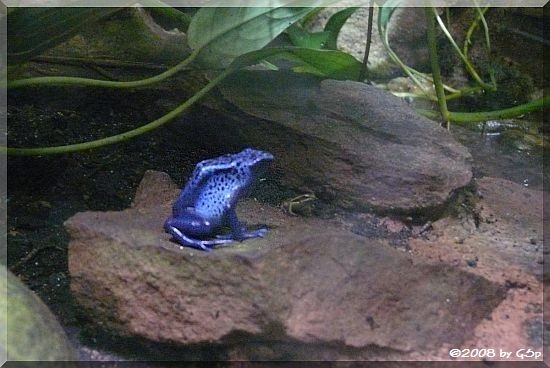 Blauer Pfeilgriftfrosch