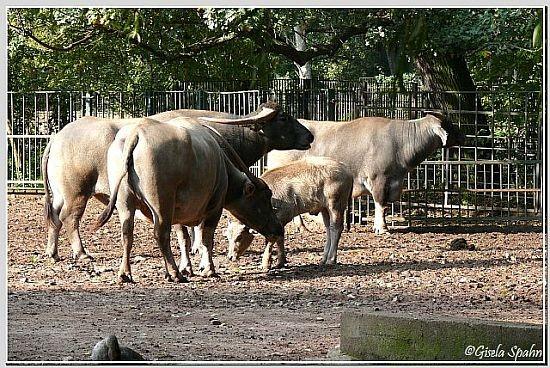 Kerabau (Wasserbüffel)