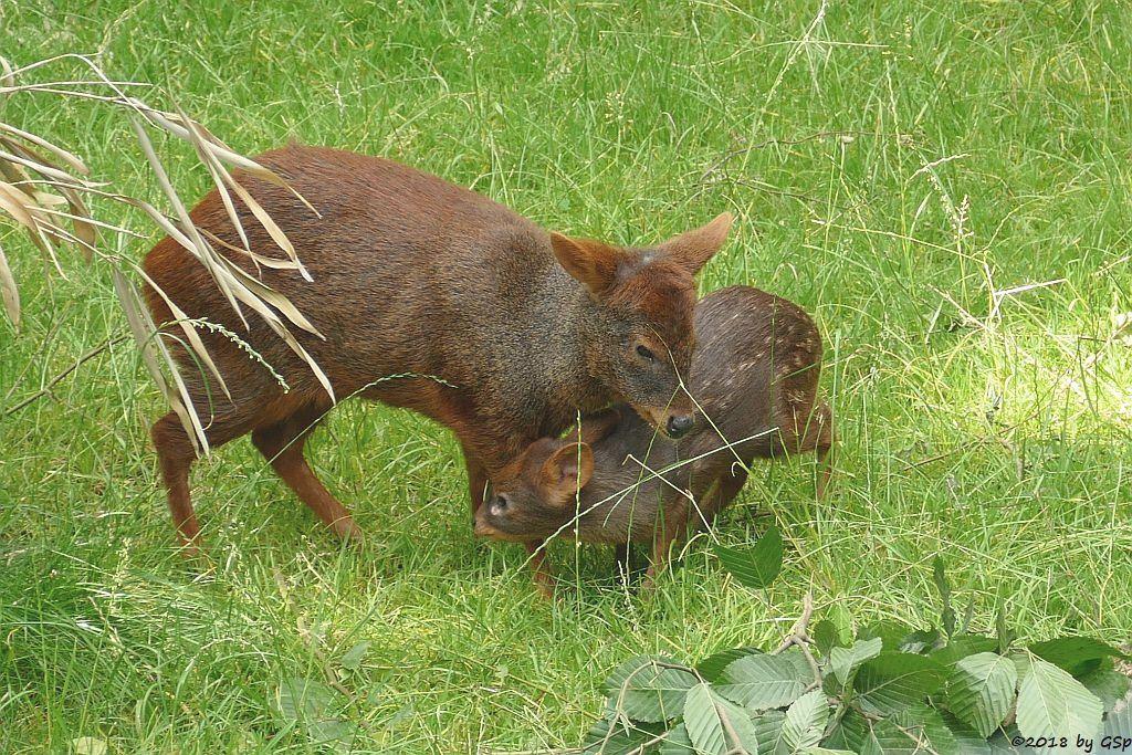 Südlicher Pudu (Südpudu), Jungtier geb. am 9.5.18 (6 Wochen)