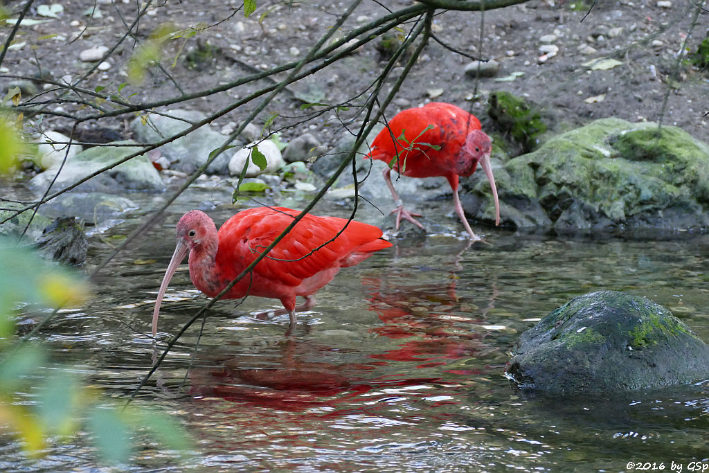 Scharlachsichler (Roter Sichler, Rotibis)