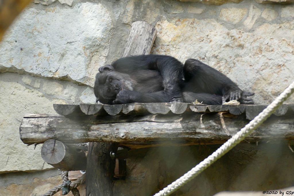 Ostafrikanischer Schimpanse (Schweinfurth-Schimpanse, Langhaarschimpanse)