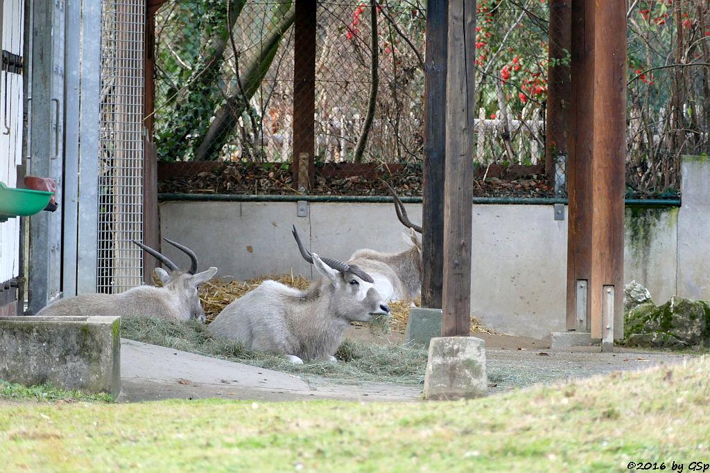 Mendesantilope (Addax)