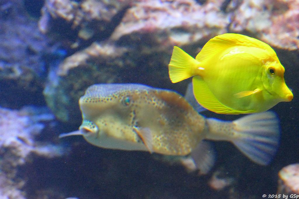 Gelber Kofferfisch, Gelber Segeldoktor