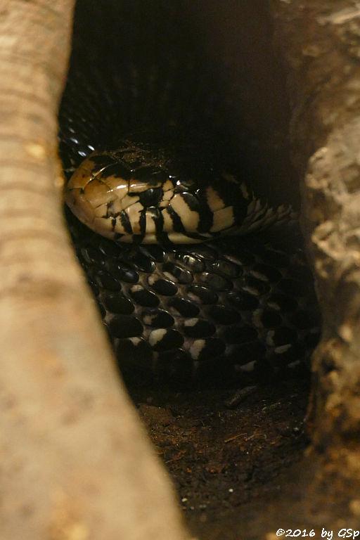 Schwarzweiße Kobra