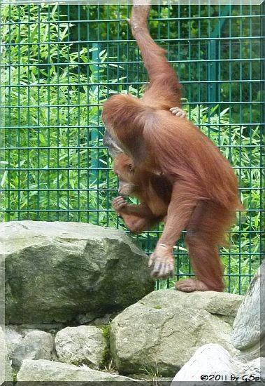 Sumatra-Orang-Utan DAISY mit Sohn DODI, geb. am 24.11.09