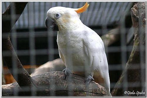 Orangehaubenkakadu