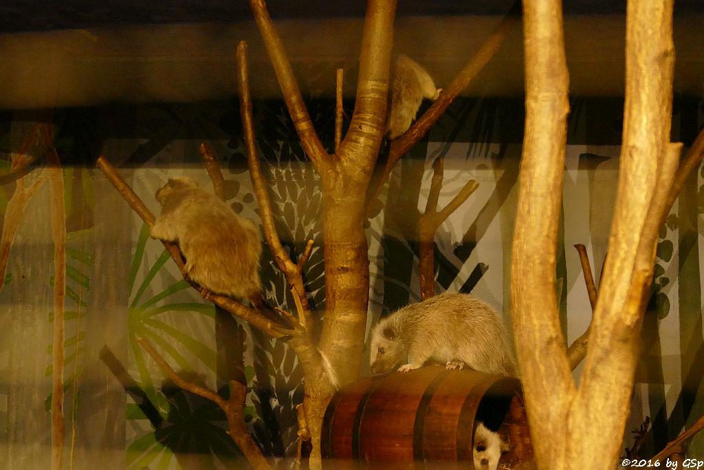 Nördliche Riesenborkenratte, Jungtier geb. am 2.1.16 (4 Mon. alt)