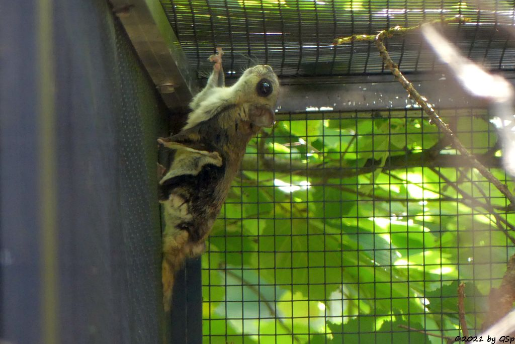 Sibirisches Gleithörnchen (Europäisches Flughörnchen)