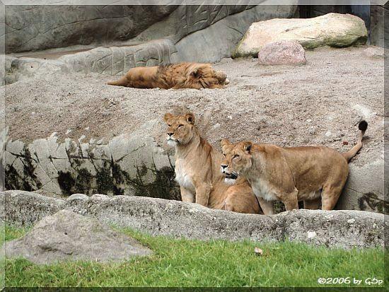 Afrikanischer Löwe Napoleon mit Tambesi und Kabora