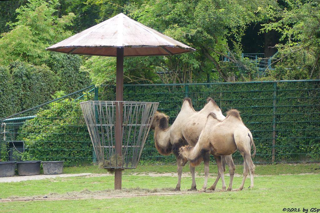 Trampeltier (Zweihöckriges Kamel, Hauskamel)