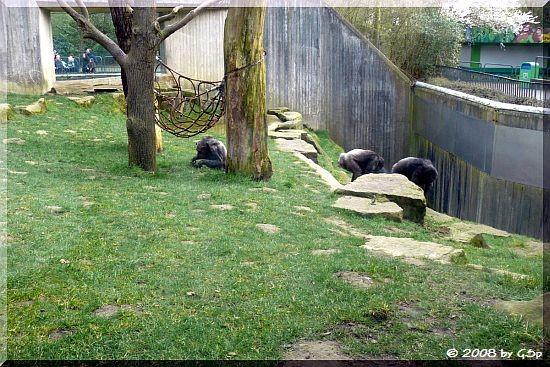 Schimpansenfreigehege