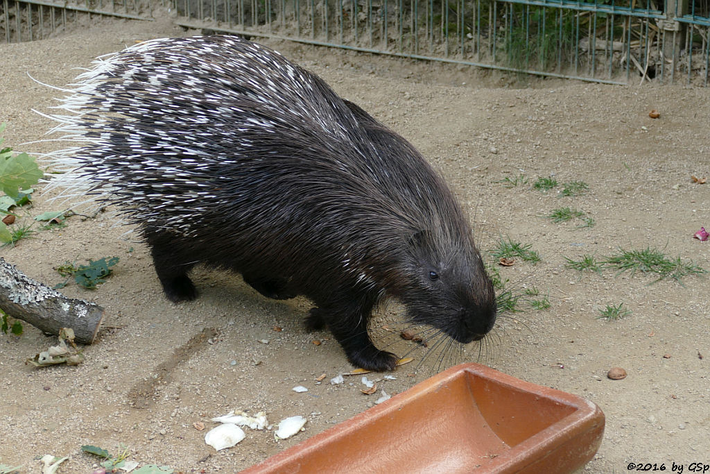 BerberaffeWeißschwanzstachelschwein