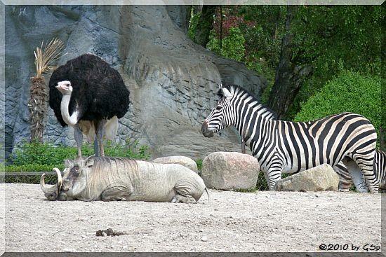 Blauhalsstrauß, Chapman-Zebra, Warzenschwein