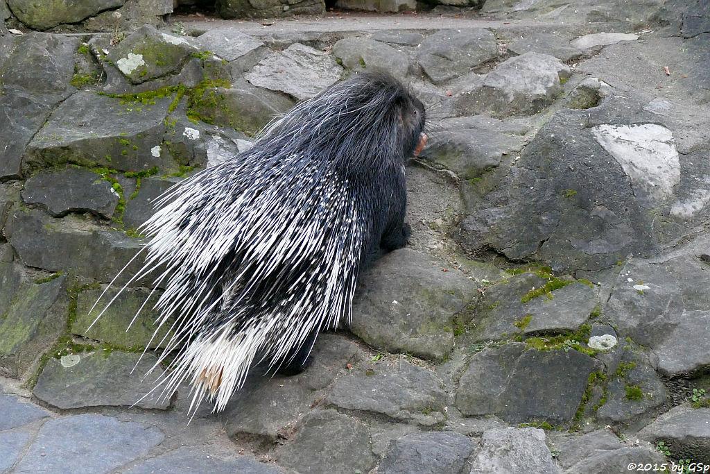 Südafrikanisches Stachelschwein