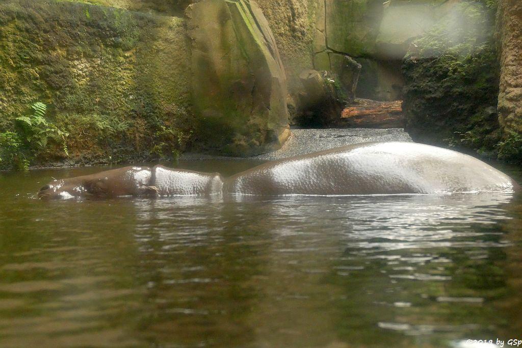 Westliches Zwergflusspferd