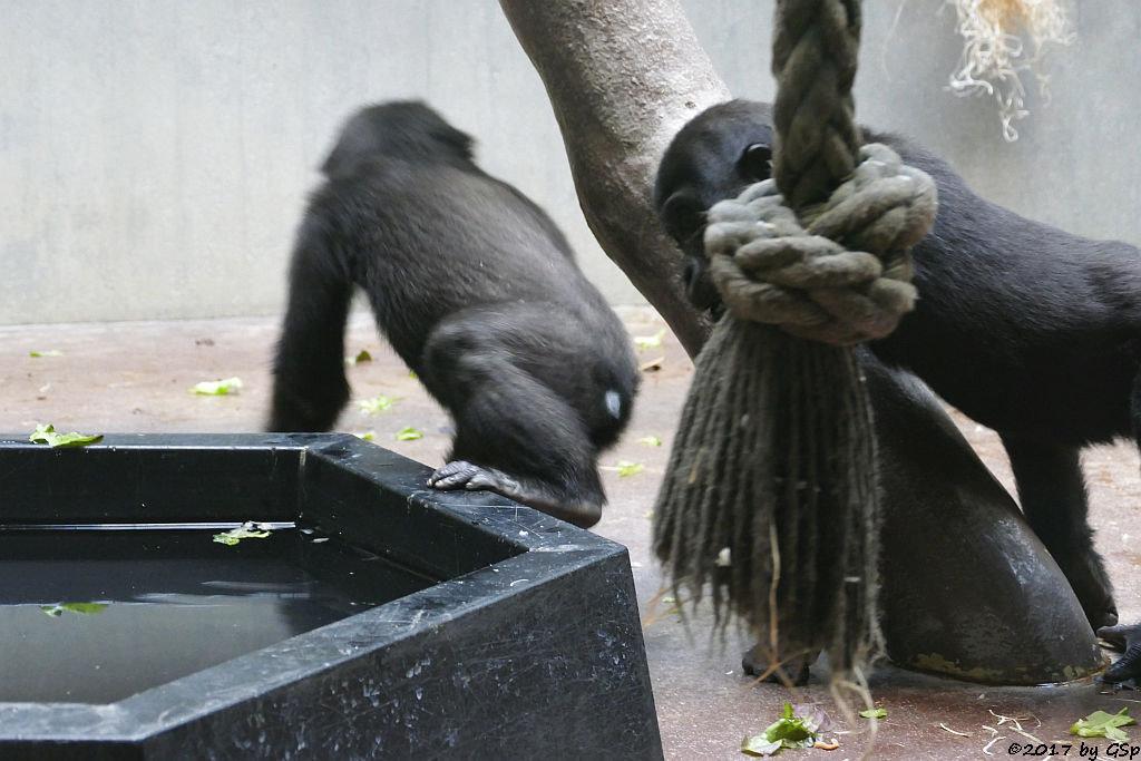Flachlandgorilla