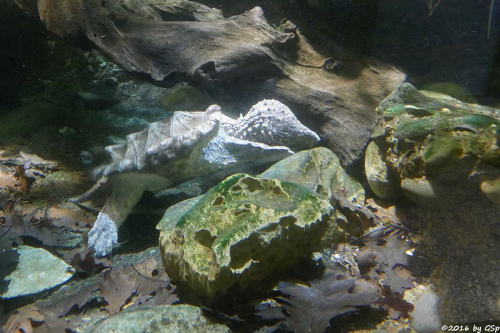 Geierschildkröte (Alligatorschildkröte)
