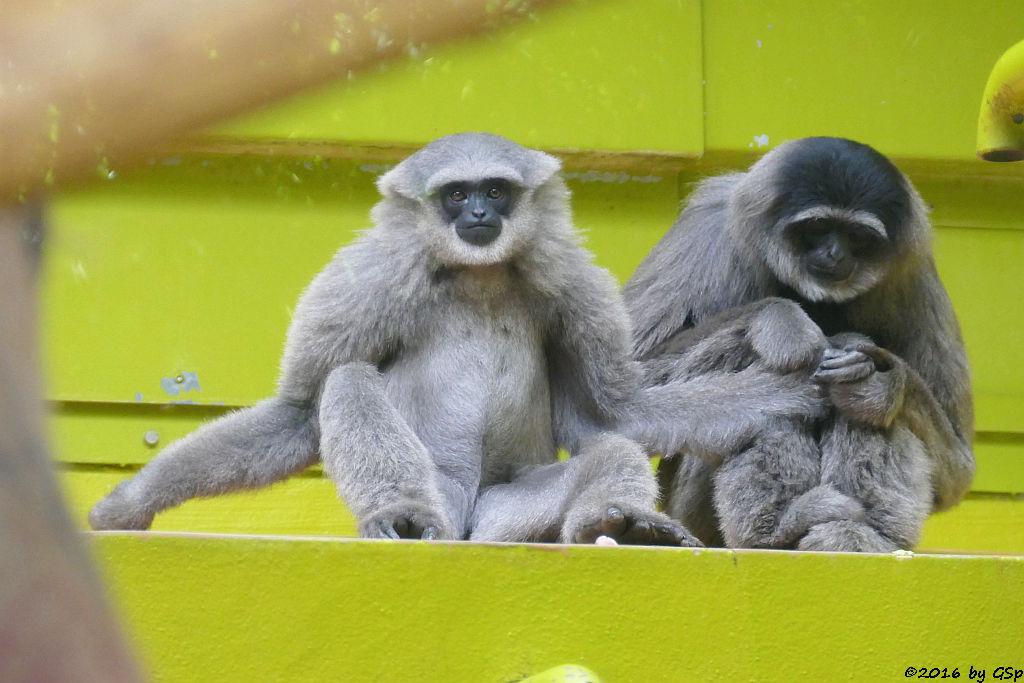 Silbergibbon (Java-Gibbon)