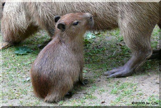 Capybara m. Jungtieren v. 3.7.08