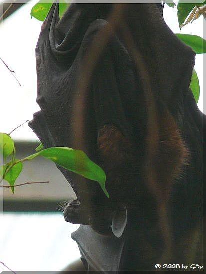 Riesenflughund