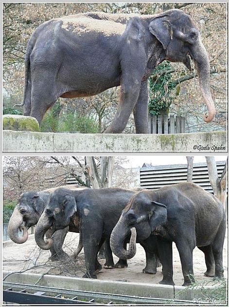 Asiatische Elefanten - 74 Fotos