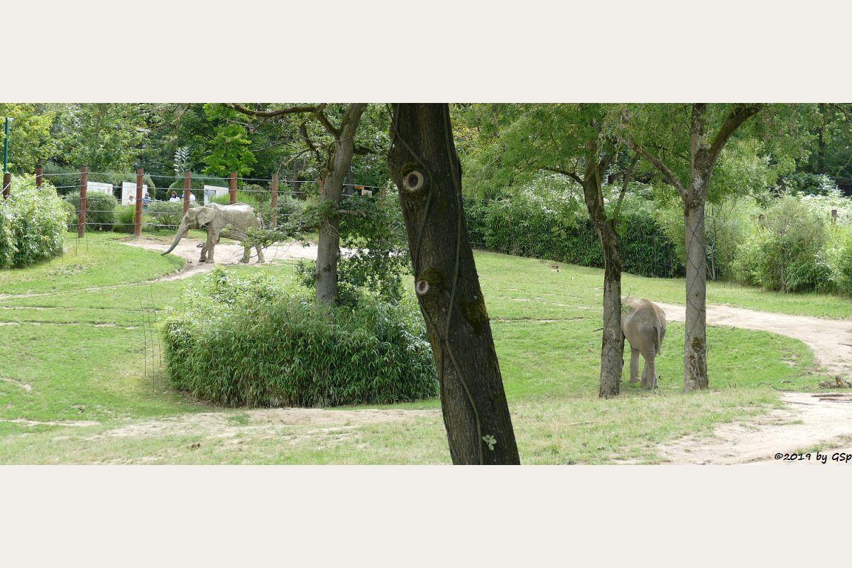 Afrikanischer Elefant ARUBA und TAMO