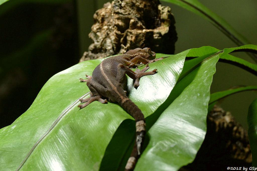 Streifengecko
