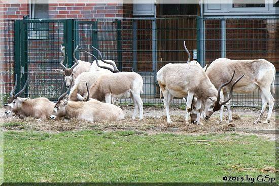 Mendes-Antilope