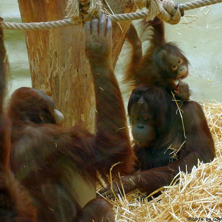 Borneo-Orang-Utan BUDI und CORI mit CIRI