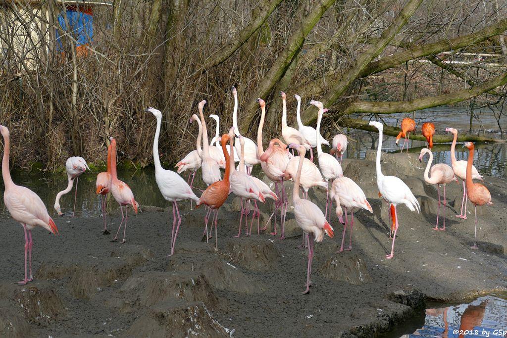 Kubaflamingo (Karibischer Flamingo, Roter Flamingo),Rosaflamingo Europäischer Flamingo)