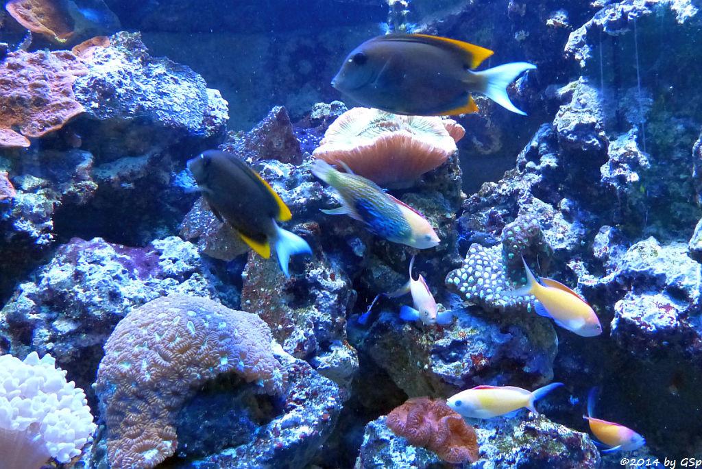 Tomini-Borstenzahndoktorfisch, Sichel-Fahnenbarsch