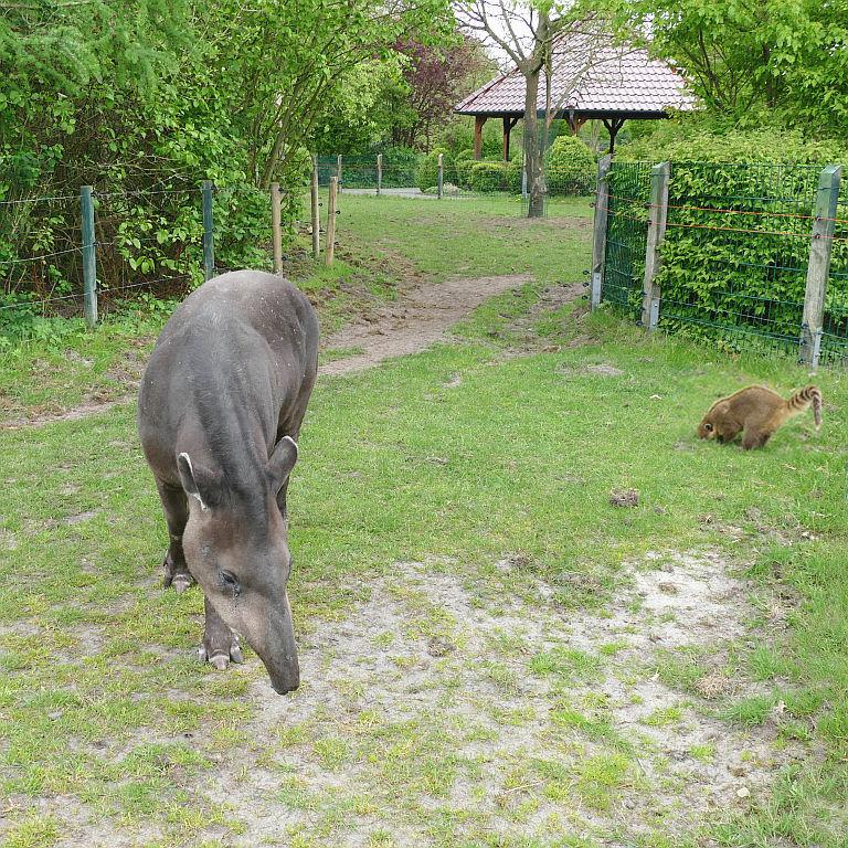 Flachlandtapir (Südamerikanischer Tapir), Roter Nasenbär (Gewöhnlicher Nasenbär)