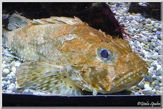 Brauner Drachenkopf (Meersau)