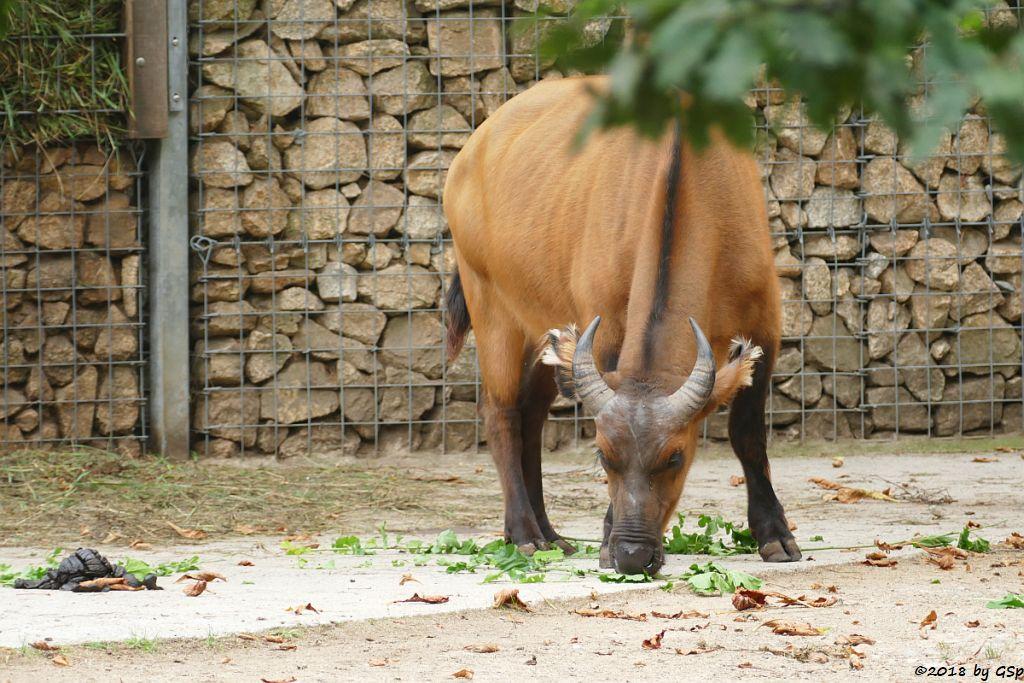 Rotbüffel (Waldbüffel)