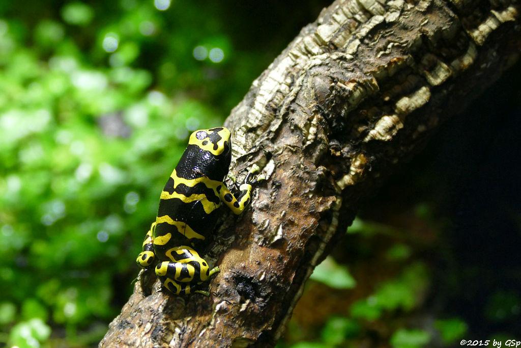Gelbgebänderter Baumsteiger