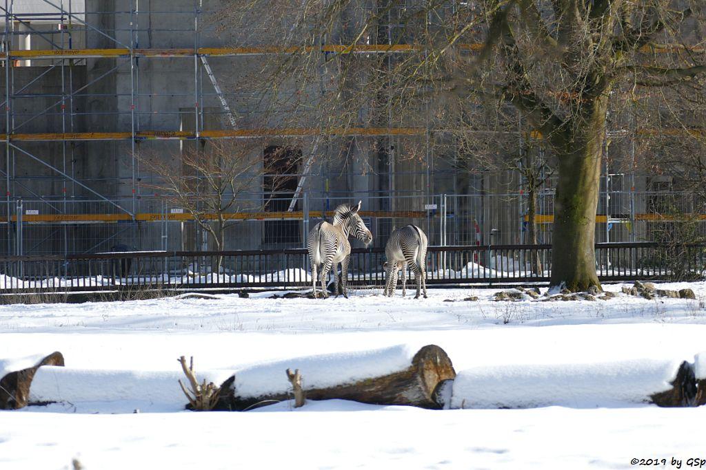 Grévy-Zebra vor Neubau Elefantenhaus