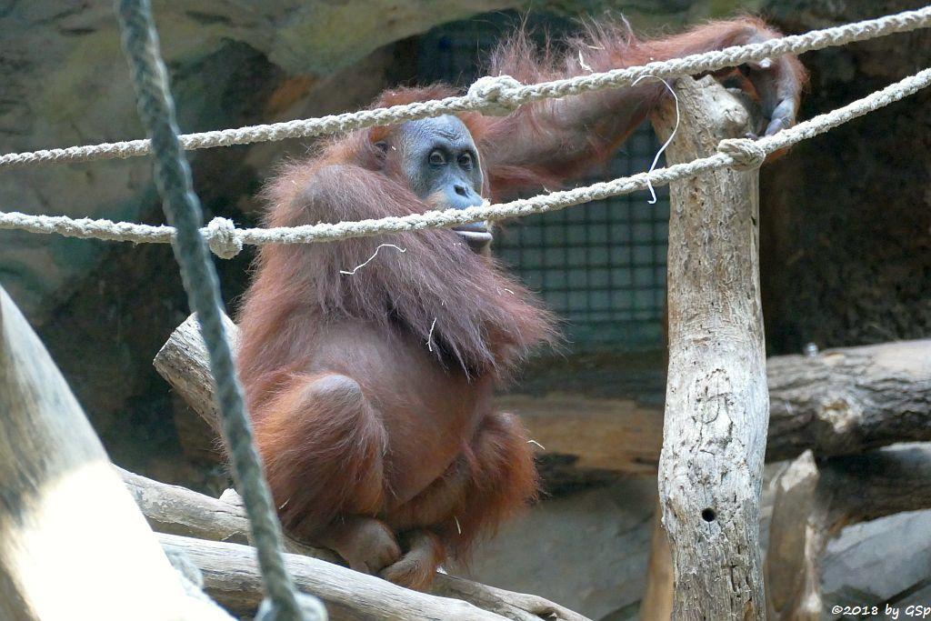 Sumatra-Orang-Utan ROSA
