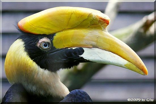 Doppelhornvogel