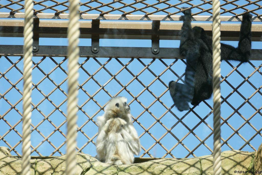Nördlicher Weißwangengibbon (Nördlicher Weißwangen-Schopfgibbon)