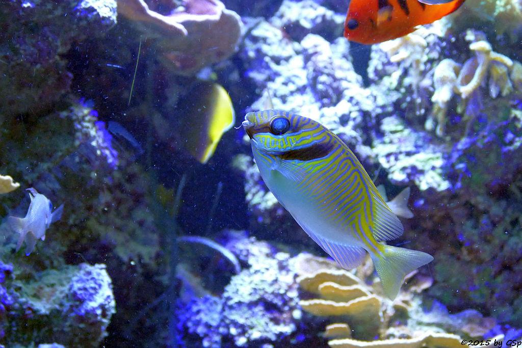 Blaustreifen-Kaninchenfisch