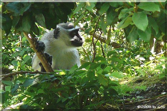 Vervetmeerkatze (Grüne Meerkatze)