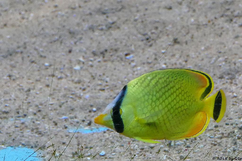 Raffel's Falterfisch