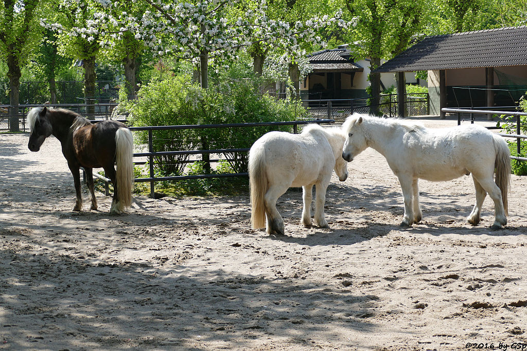 Shetland-Pony