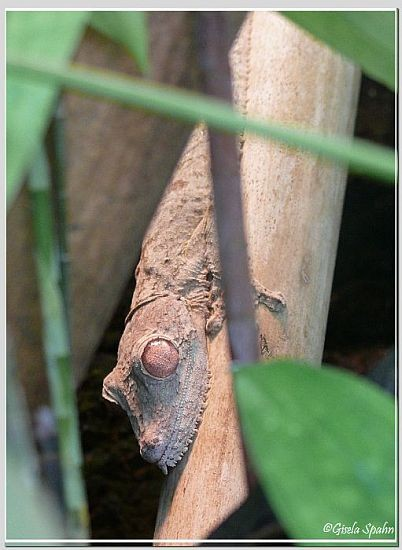 Madagaskar Plattschwanzgecko