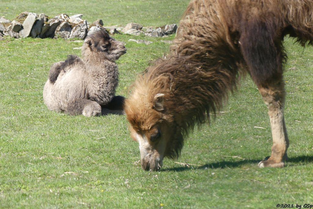 Trampeltier (Zweihöckriges Kamel, Hauskamel), CONNOR geb am 7.4.21