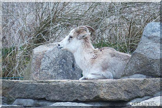 Marco-Polo-Schaf